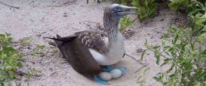 blue footed booby laying eggs in sand on galapagos