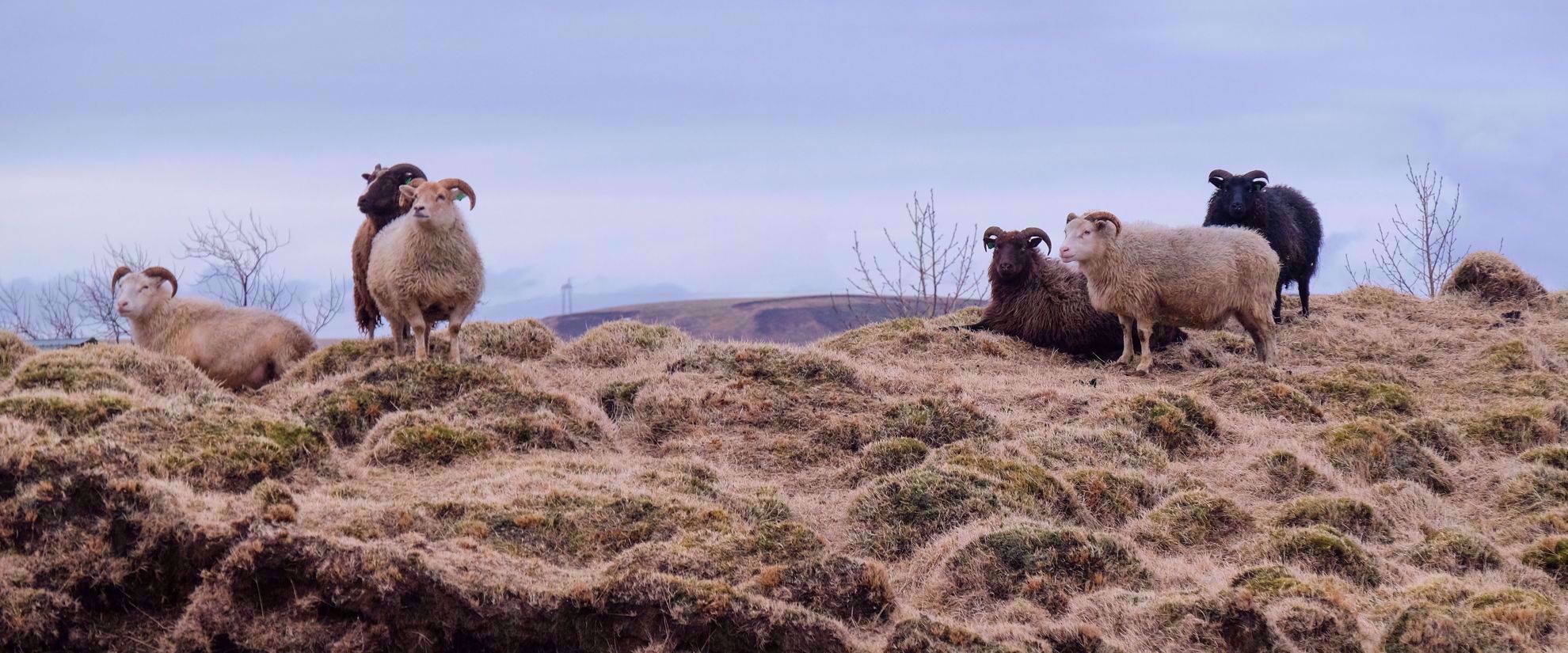 horned sheep in iceland