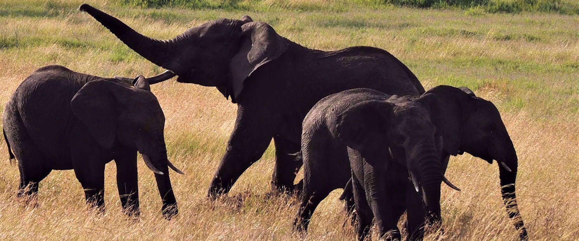 family of elephants in tanzania