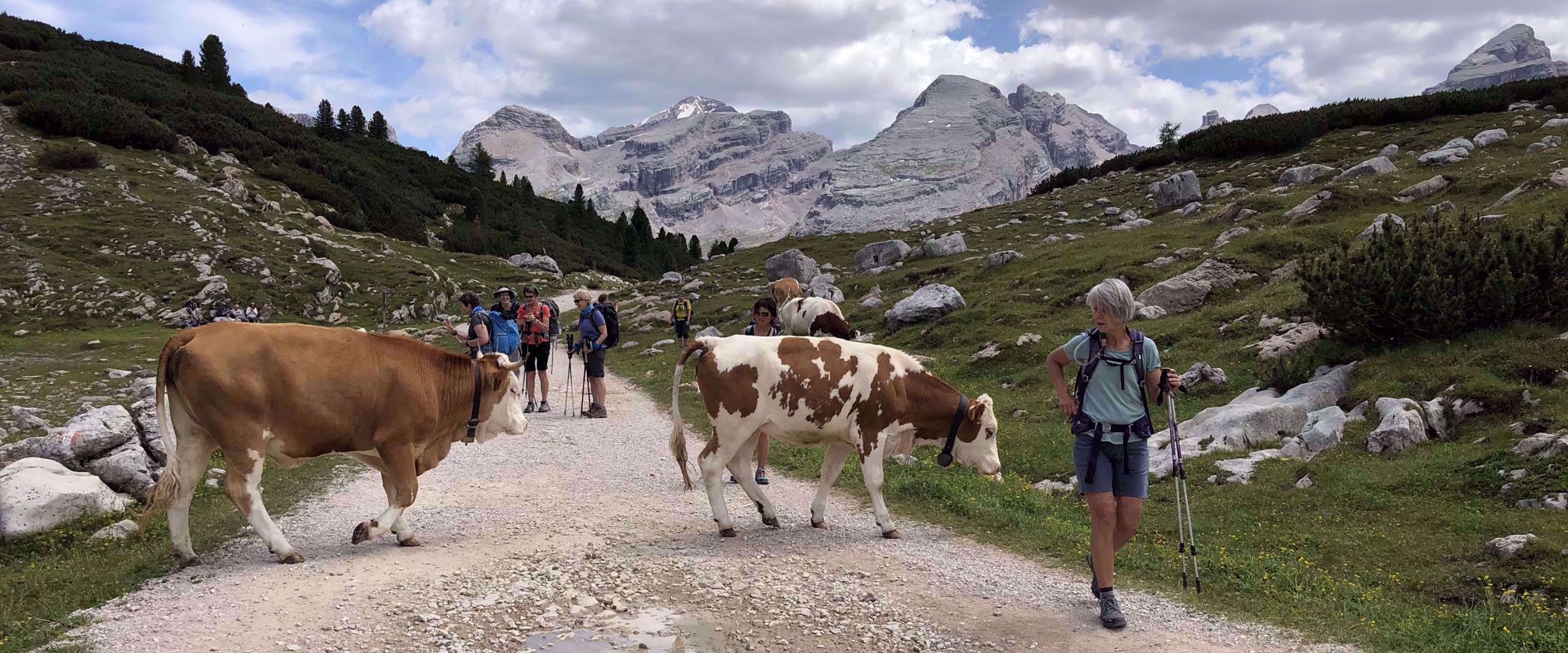 cows in northern italian alps