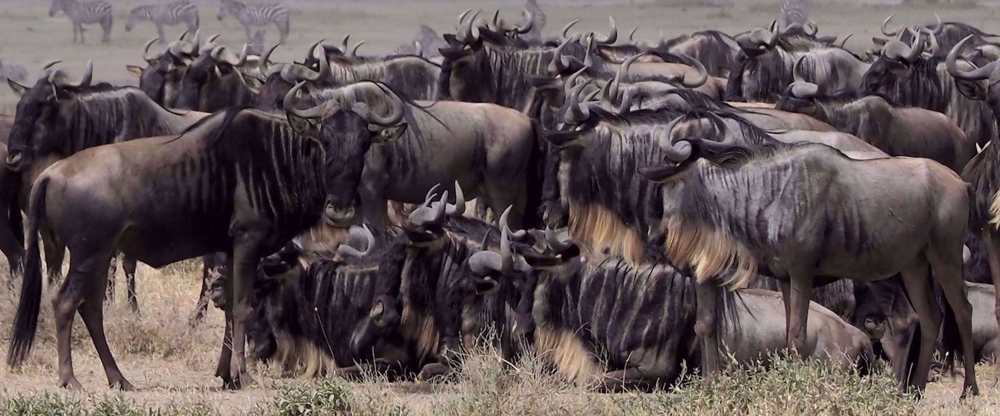 herd of wild Wildebeest in tanzania