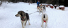 Pack of sled dogs pulling a happy participant on a sled.
