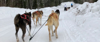 Sled dogs pulling AGC participant though the snowy tundra
