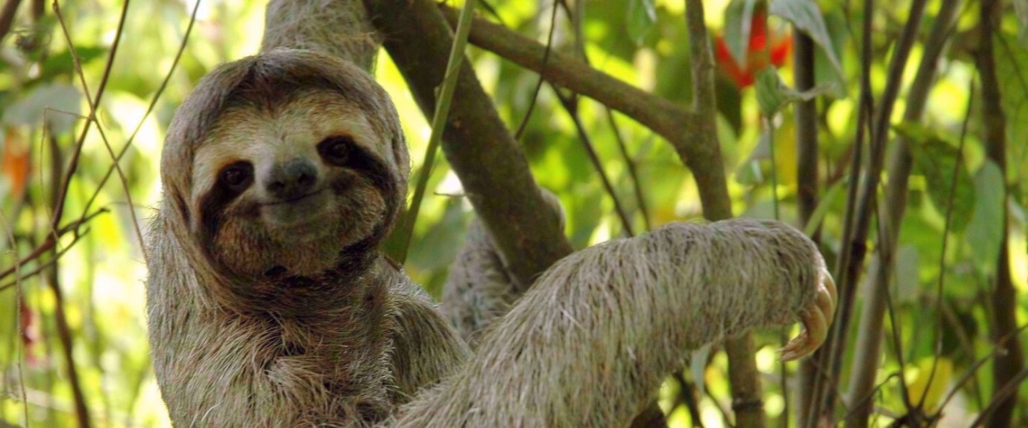 sloth smiling costa rica